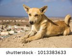 a little cute brown stray dog... | Shutterstock . vector #1013383633