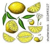 lemon vector drawing. summer... | Shutterstock .eps vector #1013493127