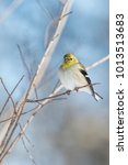Small photo of American Goldfinch Perched on Crepe Myrtle Branches Against Winter Blue Sky