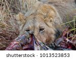 Young Male Lion Eating Meat