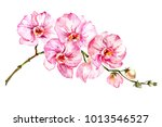 pink moth orchid  phalaenopsis  ... | Shutterstock . vector #1013546527