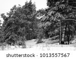 photo of a beautiful coniferous ... | Shutterstock . vector #1013557567