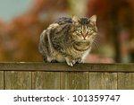 Cat On A Fence. Neighbors Cat...