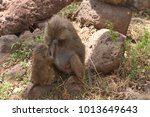 closeup of olive baboons ... | Shutterstock . vector #1013649643