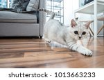 funny british shorthair female... | Shutterstock . vector #1013663233