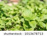 fresh peppermint plant grown in ... | Shutterstock . vector #1013678713