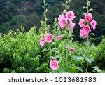Flower  Pink Hollyhock