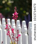 Small photo of Elegant gaura species of Australian Butterfly Bush with pink flowers in bloom
