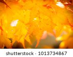 beautiful yellow maple leaf in... | Shutterstock . vector #1013734867