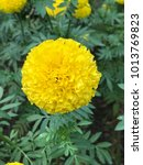 Small photo of Tagetes erecta or Mexican marigold or African marigold or Daoruang flowers are blooming in Thailand.