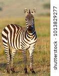 zebra looking at the camera | Shutterstock . vector #1013829277