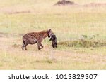hyena with prey and carries a... | Shutterstock . vector #1013829307