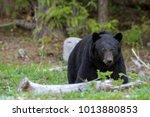 stattilicher schwarzb  r im... | Shutterstock . vector #1013880853