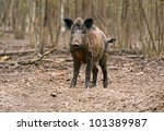 wild pig   Shutterstock . vector #101389987