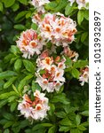 Small photo of RHODODENDRON JOCK BRYDON in flower