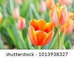 Tulip Flower In Garden And...