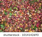 red maple leaf fall on ground... | Shutterstock . vector #1014142693