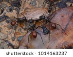 giant forest ant tearing their... | Shutterstock . vector #1014163237