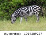 the plains zebra  equus quagga  ... | Shutterstock . vector #1014289237