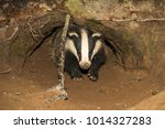 badger  meles meles. native ... | Shutterstock . vector #1014327283