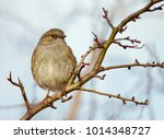 Small photo of Dunnock (Prunella modularis) known as Hedge Accentor, Hedge Sparrow, or Hedge Warbler perching on a tree branch against blue sky, England