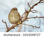 dunnock  prunella modularis ... | Shutterstock . vector #1014348727