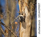 Small photo of Downy and Hairy woodpeckers are widely distributed across North America. Both commonly visit feeder areas where they feed on suet and sometimes seeds.