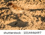 male or female house sparrow or ... | Shutterstock . vector #1014446497
