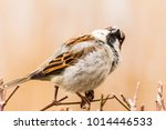male or female house sparrow or ... | Shutterstock . vector #1014446533