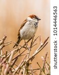 male or female house sparrow or ... | Shutterstock . vector #1014446563