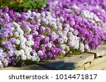 Small photo of White, lilac and violet flowers alyssum on flowerbed in summer garden.
