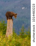 young brown bear in the forest. ... | Shutterstock . vector #1014483223