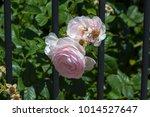 beautiful pale pink heritage...   Shutterstock . vector #1014527647