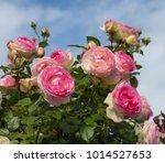 beautiful pale pink heritage...   Shutterstock . vector #1014527653