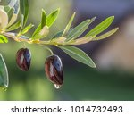 drop of olive oil falling from... | Shutterstock . vector #1014732493