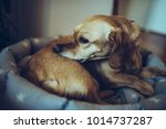 small yellow dog laying down in ... | Shutterstock . vector #1014737287