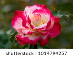 close up of rose flowers | Shutterstock . vector #1014794257