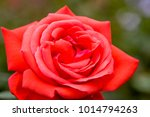 close up of rose flowers | Shutterstock . vector #1014794263