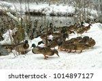ducks on the shore of the lake  ...   Shutterstock . vector #1014897127