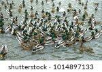 wild ducks swim in the lake ...   Shutterstock . vector #1014897133