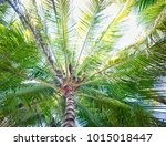 coconut tree. coconut fruit on...   Shutterstock . vector #1015018447