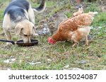 Domestic Animal Chicken Cat An...