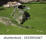 a formidable saltwater... | Shutterstock . vector #1015041067