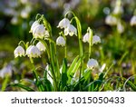 beautiful blooming of white... | Shutterstock . vector #1015050433