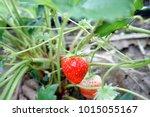 fresh strawberries in the farm. | Shutterstock . vector #1015055167