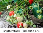 fresh strawberries in the farm. | Shutterstock . vector #1015055173