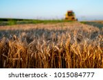 wheat field in focus with...   Shutterstock . vector #1015084777