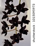 "Small photo of Black orchid Fredclarkeara ""After Dark"""