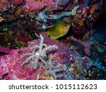 Small photo of Amblyglyphidodon aureus Golden Damselfish Adults occur in steep outer reef Occasionally in deep lagoons and channel walls Usually in current prone habitats and where there are abundant gorgonian