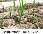 garlic grows on a bed in even...   Shutterstock . vector #1015117423